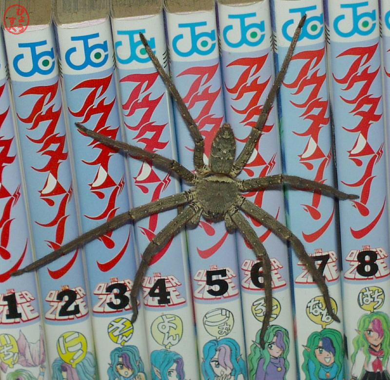 足高蜘蛛(あしだかぐも)の写真1
