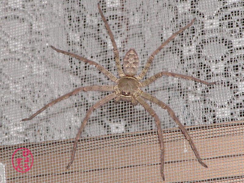 足高蜘蛛(あしだかぐも)の写真2