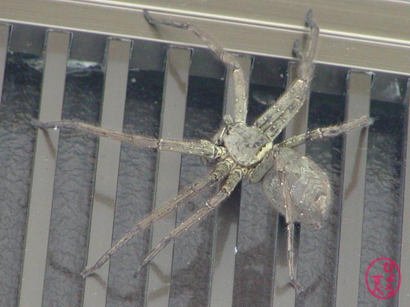 足高蜘蛛(あしだかぐも)の写真3